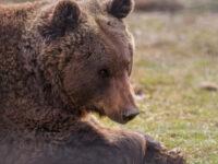 Cel mai mare urs din România, împușcat de către un prinț austriac într-o arie protejată din Covasna