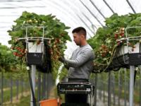 """Constantin Anghel, """"cel mai harnic căpșunar"""" al fermei care aprovizionează Wimbledon"""
